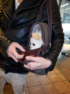 Dog in his carry bag - Kyoto