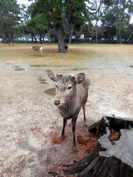 Deer - Nara
