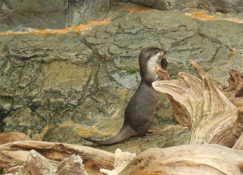 Asian Small Clawed Otter - Osaka Aquarium - January 2013