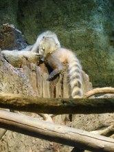 Common Squirrel Monkey - Osaka Aquarium - January 2013