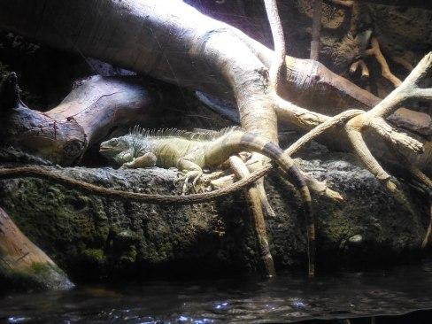 Iguana - Osaka Aquarium - January 2013