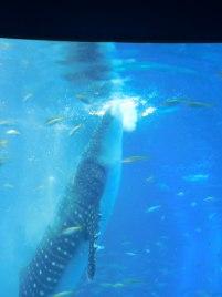 Whale Shark - Osaka Aquarium