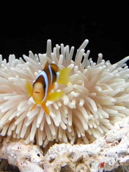 Nemo! - Osaka Aquarium - January 2013
