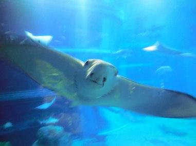 Manta Ray - Osaka Aquarium