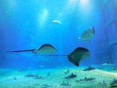 Stingray - Osaka Aquarium