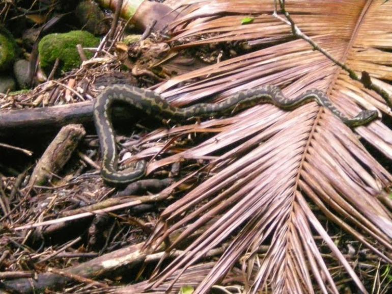 Carpet snake. Binna Burra, QLD